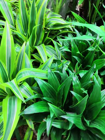 Common house plant in Southeast Asia, easily grown on pots Pandan Leaf aka Pandanus Palm Used as fragrant aroma in food preparation, cuisine, cooking, baking, dessert and many more uses