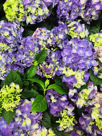 Hydrangea, soft focus, noise added. Beautiful flowers. Beauty in nature. Hydrangea macrophylla - Beautiful bush of hydrangea flowers in a flowers market Stock Photo