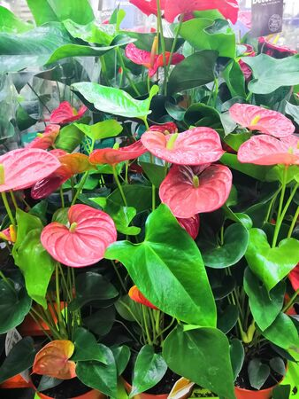 Indoor red anthurium flower in the Interior. Artificial Potted Green Anthurium