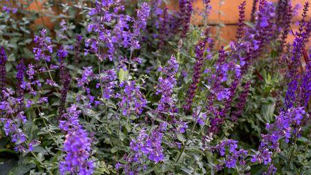 Beautiful little meadow wild little lilac flowers on a natural green grass background. Reklamní fotografie - 133067147