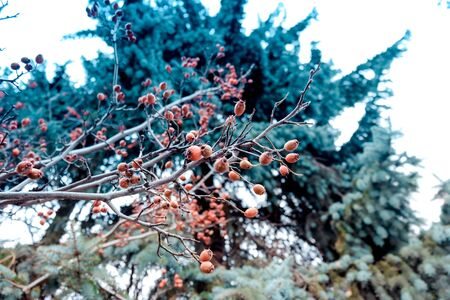Closeup of holly bush branch with green leaves and bright red berries, snow. Holly bush with red berries Symbol of Christmas in Europe. beautiful red berries and sharp leaves on a tree in autumn weat