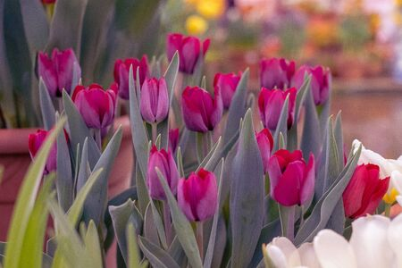 tulip named Queen of the Night . It's velvety, dark maroon, on evening sunshine, cup-shaped flower on straight stem in May is stunning,.