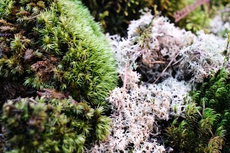 composition of live moss grown in a greenhouse. Moss formed in the form of a round Bush, as if the forest in miniature. Space for your text Zdjęcie Seryjne