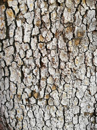 Macro view of the bark of a cracked and spotted lichen tree. background tree pole bark gathering