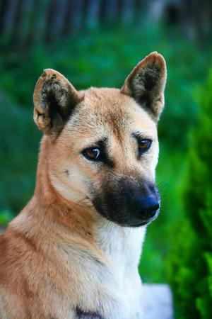 close up eye: Primo piano contatto con gli occhi da cane originale Thailandia.