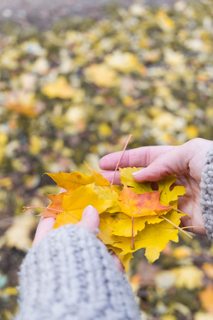 Autumn Maple Leaves in wooman hands background