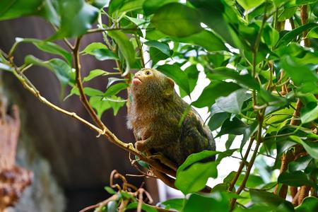 pygmy: Pygmy Marmoset