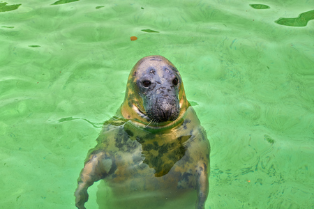 baltic sea: harbor seal