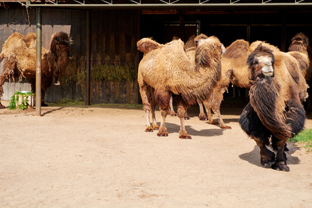 wild asia: camels