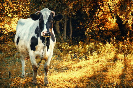 cow among the trees
