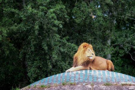 the lion lies on a dais Reklamní fotografie