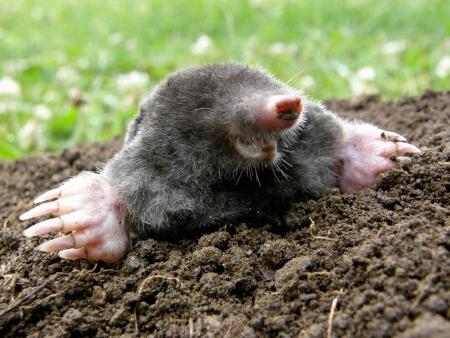molehill: Laughing mole crawling out of molehill