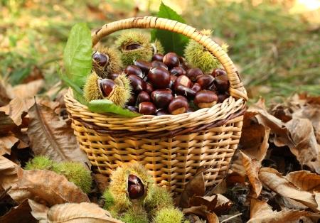 Castaño cosecha en cesta de mimbre Foto de archivo
