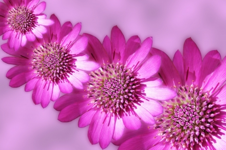 royalty free images: Pink strawflowers on pink background abstract design Stock Photo