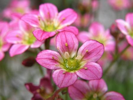 Pink flowers of Saxifrage perennial rock plant macro photo