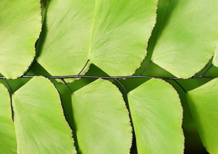silver fern: Detail of Silver dollar fern  Adiantum peruvianum                 Stock Photo