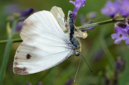 vatia: Large White Butterfly Pieris brassicae attaccato da Crab Spider Misumena vatia