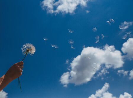 Dandelion with seeds blowing away in the wind across a clear blue sky with copy space Stockfoto
