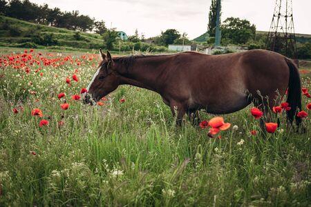 Hermoso caballo rojo con larga melena negra en campo de primavera con flores de amapola. Caballo pastando en la pradera al amanecer. Caballo está caminando y comiendo hierba verde en el campo. Hermoso fondo