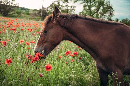 Hermoso caballo rojo con larga melena negra en campo de primavera con flores de amapola. Caballo pastando en la pradera al amanecer. Caballo está caminando y comiendo hierba verde en el campo. Hermoso fondo Foto de archivo