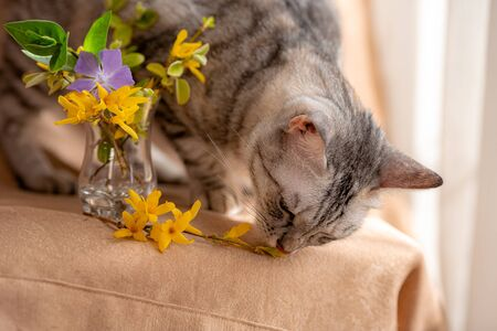 Spring bouquet of fresh flowers and curious kitty. Lovely kitten. the cat is trying to eat flowers from a small vase. The idea and concept of pets and quarantine. Stay at home