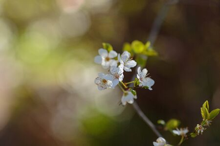 Blossoming branch with with flowers of cherry plum. Blooming tree. idea and concept of spring, awakening and health Zdjęcie Seryjne