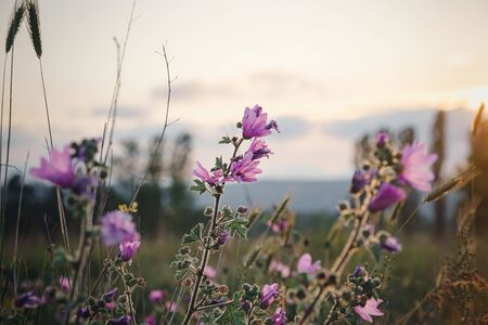 beautiful wild purple flowers at sunset, close up. Spring farm field landscape. Floral background.
