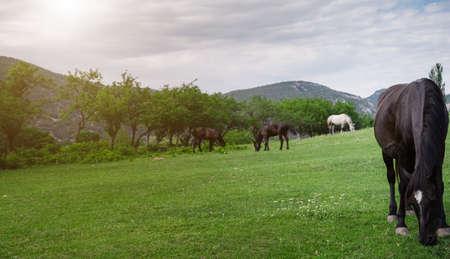 Beautiful chestnut horses on a farm in summer. Domestic animal. Spring farm field landscape. Foto de archivo