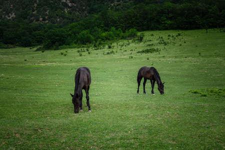 Beautiful chestnut horses on a farm in summer. Domestic animal. Spring farm field landscape. 版權商用圖片