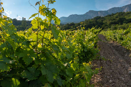 ripening green grapes, vines, winery plantations in long rows on the mountains and hills, the concept of growing crops, the stage of wine creation, natural open spaces