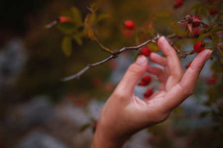 Freshly picked rose hips in the hands of a woman. Rose hip or rosehip, commonly known as the dog rose (Rosa canina). Stock Photo