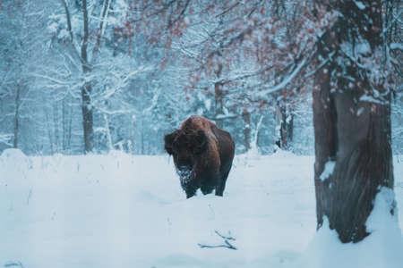 Bison on the forest background and snow. Adult Wild European Brown Bison or Bison Bonasus In Winter Time. Wild European Wood Bison in Prioksko-Terrasny Biosphere Reserve Reklamní fotografie