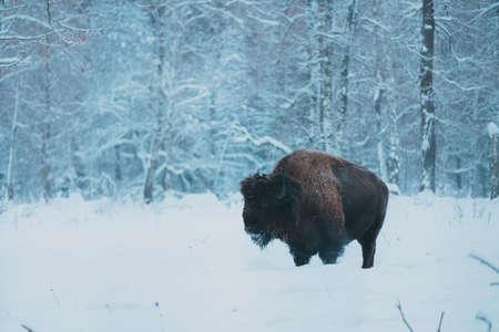 Bison on the forest background and snow. Adult Wild European Brown Bison or Bison Bonasus In Winter Time. Wild European Wood Bison in Prioksko-Terrasny Biosphere Reserve