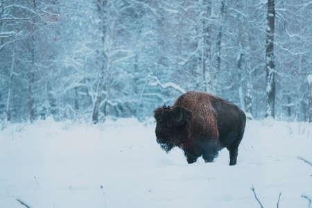 Bison on the forest background and snow. Adult Wild European Brown Bison or Bison Bonasus In Winter Time. Wild European Wood Bison in Prioksko-Terrasny Biosphere Reserve, UNESCO Heritage in Russia Reklamní fotografie
