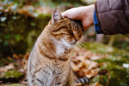 tabby shorthair cat getting stroked by female hand outdoors in the autumn forest