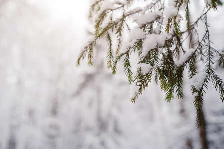 Pine trees are covered with snow on a frosty evening. Beautiful winter photo