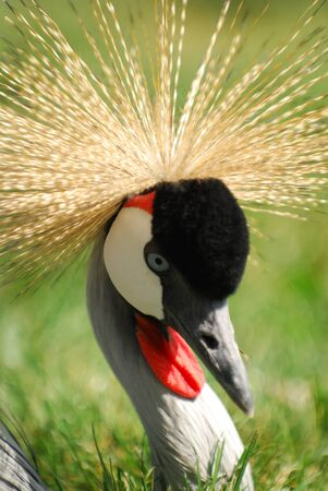 Grey Crowned Crane - Cougar Mountain Zoo photo
