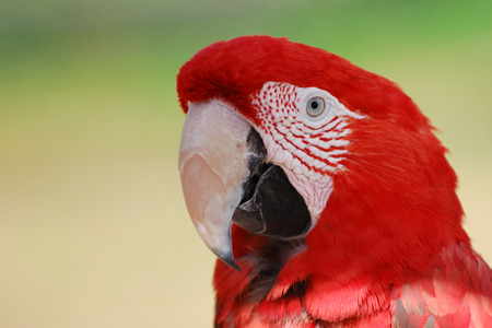 Scarlet Macaw - Cougar Mountain Zoo
