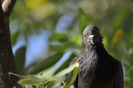 stare: Pigeon Stare