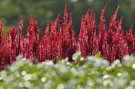 midday: Red Celosia Century Fire Select focus in midday light.