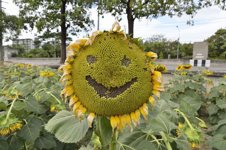 helianthus: Helianthus or Sunflowers with smile in midday light Select focus.