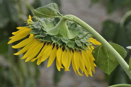 radiacion solar: El disco de girasoles está orientada hacia abajo para proteger las semillas de la radiación solar.