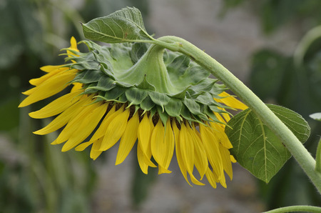 radiacion solar: The disk of sunflowers is faces down to protect the seeds from solar radiation. Foto de archivo