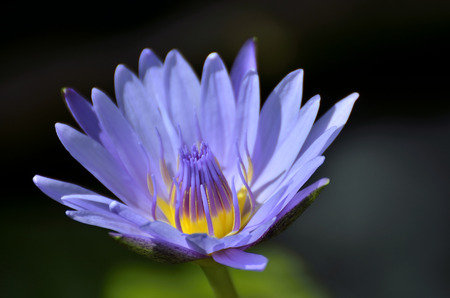 egyptian lily: Lotus Flower Nymphaea caerulea - Selective focus to blue Purple lotus flower or blue Egyptian lotus blue water lily, blue Egyptian water lily, sacred blue lily, sacred narcotic lily of the nile. Stock Photo