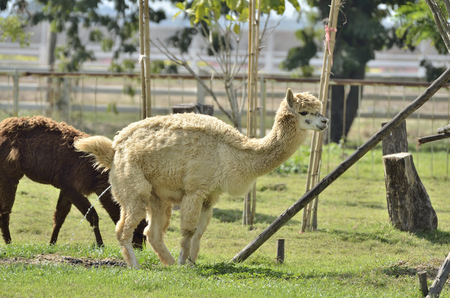 peeing: Alpaca peeing in the garden  (selective focus) Stock Photo