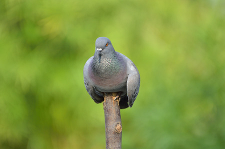 Pigeon in the garden  and standing on the tree (selective focus)