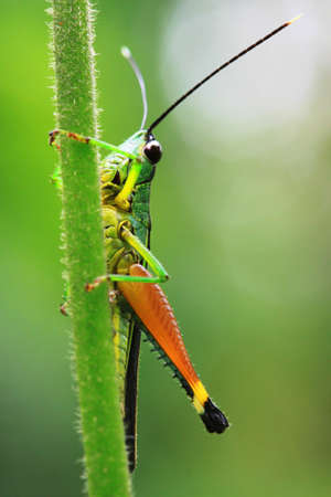 Closeup view of grasshopper on green background photo