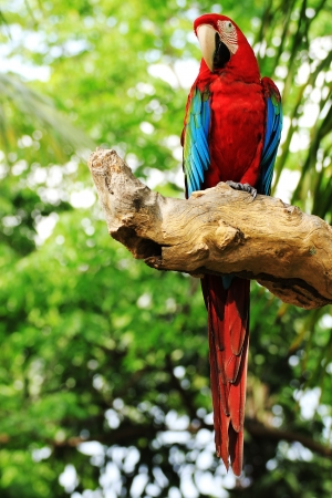 Red Macaw perched on a tree branch