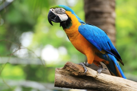 The potrait of Blue   Gold Macaw  photo