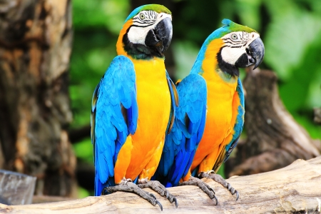 colorful couple macaw sitting in a tree  Stock Photo